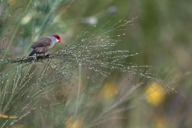 Hawaiin Bird