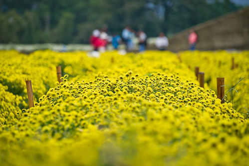 taiwan miaoli 銅鑼 杭菊 sigma70300mm chrysanthemumflower sonya850 gongtown tungluotownship