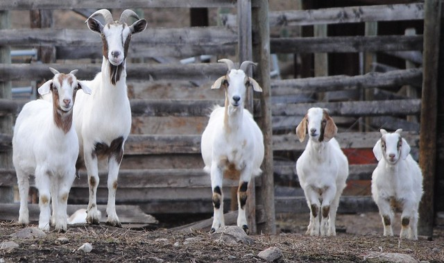 Lucky 8 Auto >> happy goat family | Male,female and three kids-a goat ...