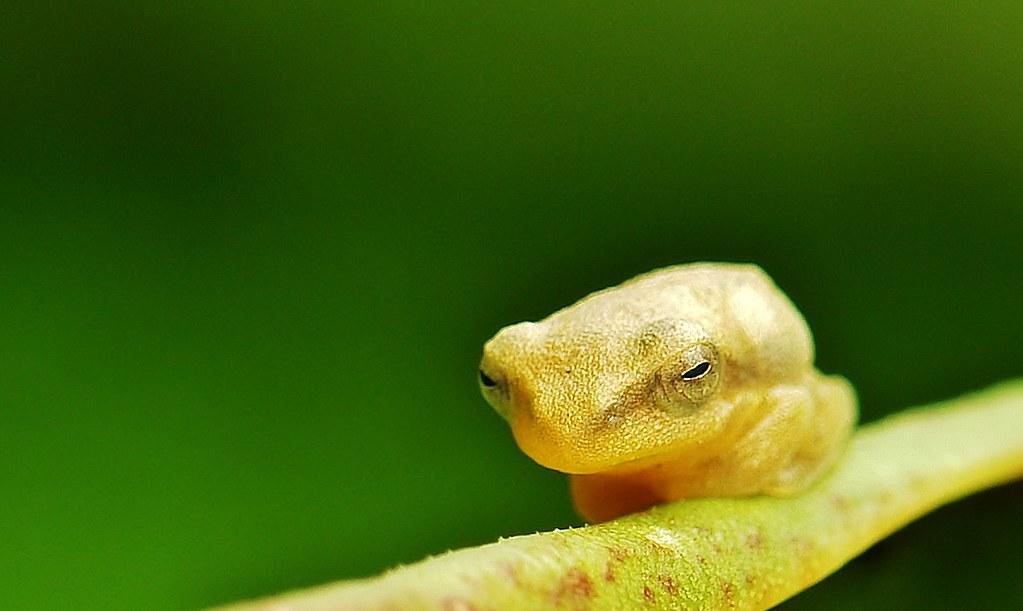 Tiny Frog (possibly Juvenile Golden Tree Frog (Polypedates leucomystax)