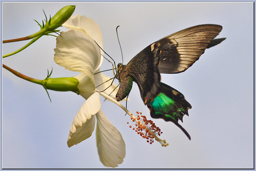 Emerald Swallowtail on Hibiscus