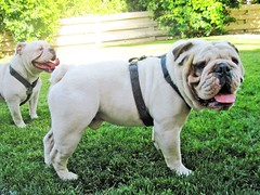 Gunther Male English Bulldog