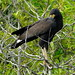 Great Black Hawk - Photo (c) barloventomagico, some rights reserved (CC BY-NC-ND)
