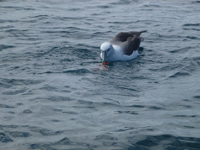 An albatross eating the remains of our perch