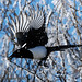 Magpie DSC_7023 by Ron Kube Photography