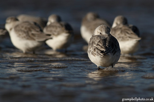 Sleepy Sanderling