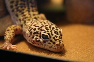 Al the Leopard Gecko