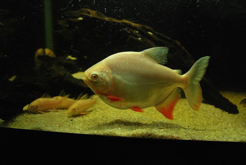 chooks underwater den: Piaractus brachypomus (Albino Red Bellied Pacu)