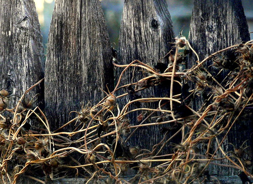 Dead Vines on Decaying Wood Fence