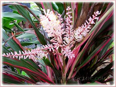 A flowering Cordyline terminalis or C. fruticosa at a garden center, Nov 6 2011