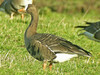 Greenland White-fronted Goose, Winless (Highland), 25-Feb-12