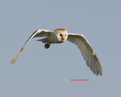 Barn Owl In Flight Browns Farm Road Palm Beach County