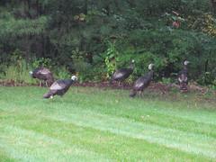 turkey(0.0), water bird(0.0), goose(0.0), duck(0.0), waterfowl(0.0), ducks, geese and swans(0.0), animal(1.0), fauna(1.0), wild turkey(1.0), bird(1.0), wildlife(1.0),