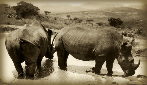 Two White Rhino