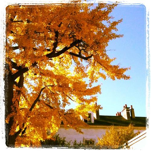 晃亮亮的銀杏老樹,在修道院旁隨風搖曳著。