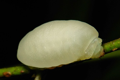 "Gelatin Slug Caterpillar (Limacodidae) ""Jelly Bean"""