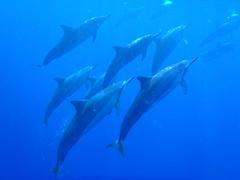 ハワイ島 イルカ