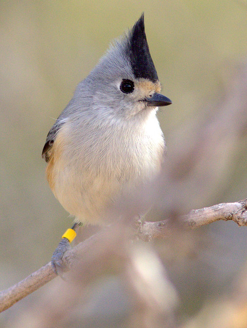 Black-crested Titmouse with color band 20111112