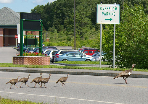 A turkey hen and her young (poults) cross a road near an airport in New Hampshire.  The hen wears a tag and transmitter that helps APHIS Wildlife Services biologists follow their habits and movements. USDA Photo by D. Bargeron.