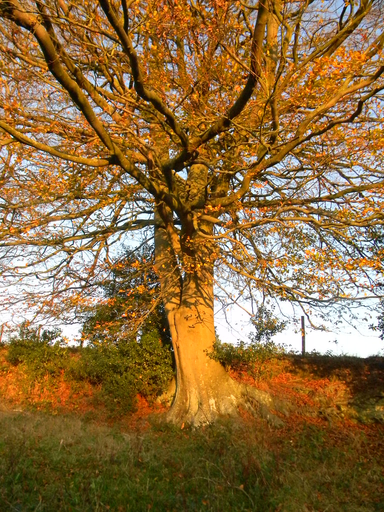 Sunlit tree Buxted Circular