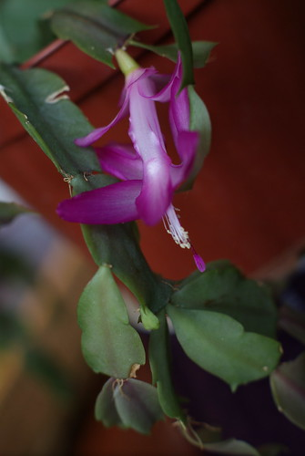Christmas Cactus in November by susanvg