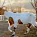 Spotted Boer Goat Grace by TC Morgan