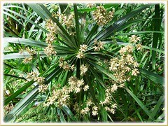 Flowering Cyperus involucratus at Butterfly Farm in Cameron Highlands