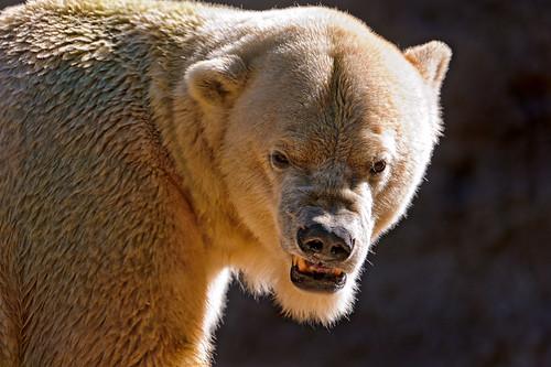 無料写真素材, 動物 , 熊・クマ, ホッキョクグマ・シロクマ, 怒る