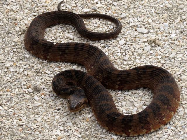 Florida Water Snake [Nerodia fasciata pictiventris] 1/3