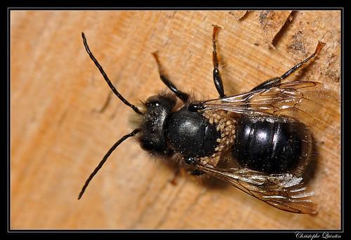 Osmia sp. mâle parasité par des acariens Chaetodactylus sp.