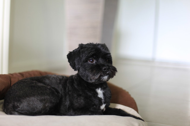 New A Shihpoo Is A Cross Between A Miniature Poodle And A Shihtzu Often Referred To As A Designer Dog, The Shihpoo Is A Small Companion Animal, Weighing About Seven To 20 Pounds And Possessing The Best Characteristics Of Both Breeds A