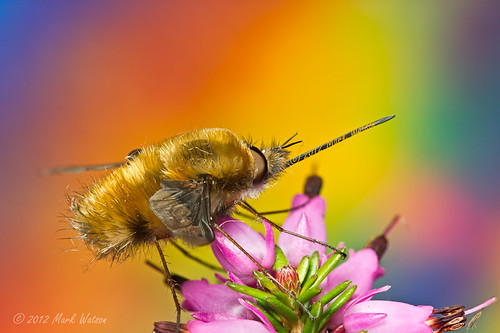 Bee Fly 1 of 11