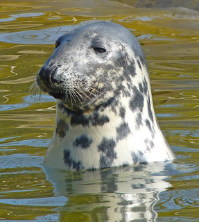 Seal at Seal Sanctury Mablethorpe