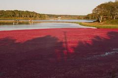 20111008 - Cranberry Harvest