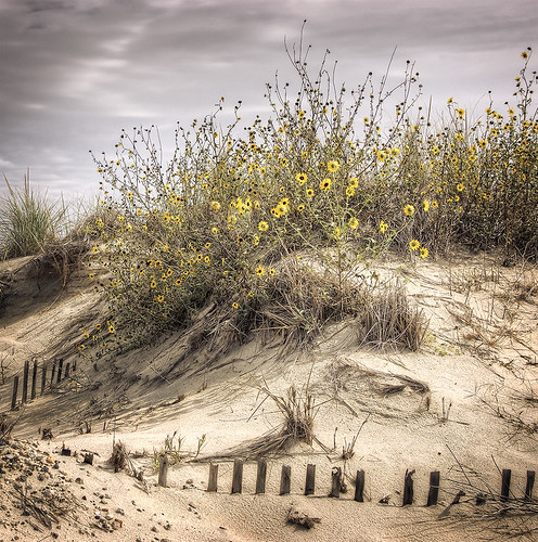 yellow flowers on the dune