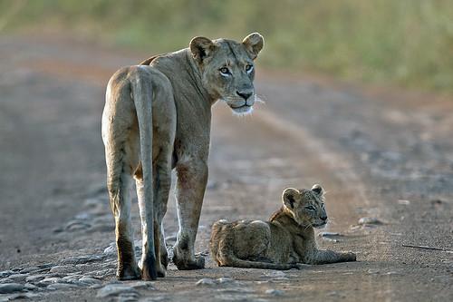 eos kenya lioness mk lioncub nairobinationalpark nairobikenya mywinners goldwildlife naturesgreenpeace mothernaturesgreenearth amazingwildlifephotography 5wonderwall macswildpixels