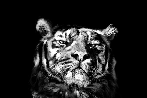 Tiger b&w