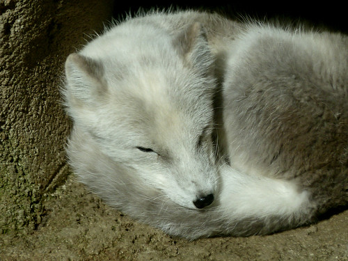 Polarfuchs - Arctic fox