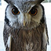 Owl by alison's daily photo