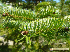 Abies alba Mill. IV