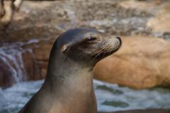 Sea Lion at Sea World 2011