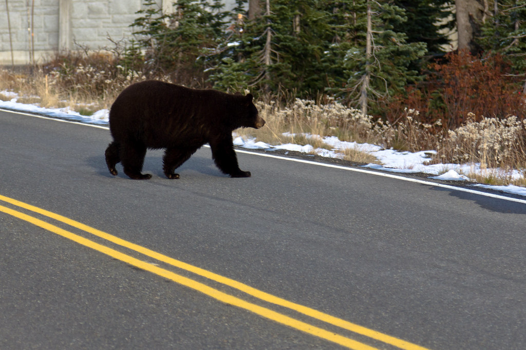 Why did the bear cross the road?