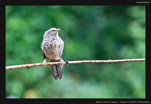 bird birds wildlife birding kerala birdsanctuary salimali junglebabbler birdphotography thattekad turdoidesstriata eldhose