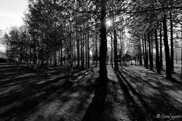 Black white forest