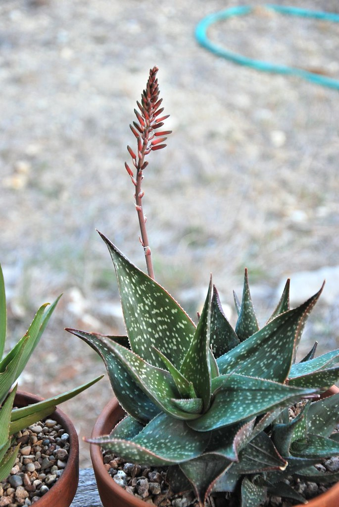 Blooming Aloe