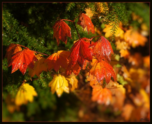 October Vine Maple