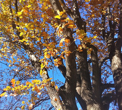 Autumn Leaves on Oak Tree by randubnick
