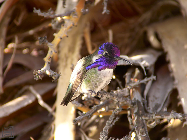 Costa's Hummingbird male, AZ, Nov 2011
