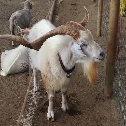 マ牧の羊(?)