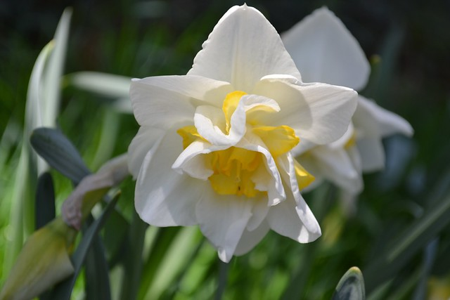 This Narcissus 'White Lion' is an example of a double (Division 4) daffodil. Photo by Elizabeth Peters.